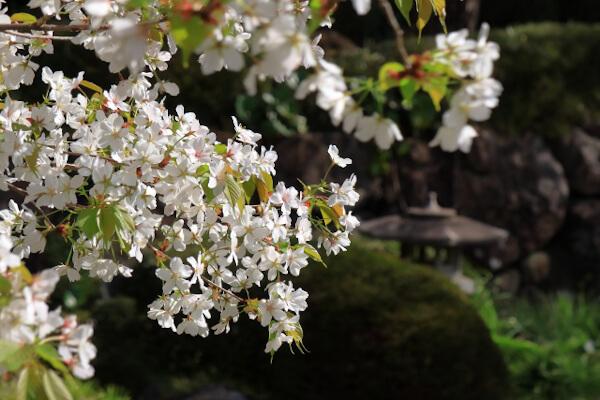 娘道成寺は桜の季節の演目