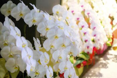 贈答の花に向いてる胡蝶蘭